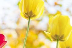 Primer hermoso de los tulipanes Imágenes de archivo libres de regalías
