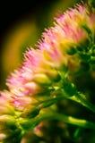 Primer hermoso de un millefolium de Achillea en un fondo oscuro Fotografía de archivo libre de regalías