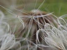 Primer hermoso de una flor del diente de león foto de archivo libre de regalías
