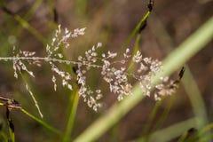 Primer hermoso de una hierba doblada en un fondo natural después de la lluvia con las gotitas de agua Fotografía de archivo
