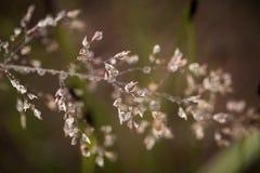 Primer hermoso de una hierba doblada en un fondo natural después de la lluvia con las gotitas de agua Fotos de archivo libres de regalías