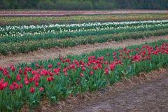 Primer hermoso del macizo de flores de los tulipanes Fondo de la flor foto de archivo