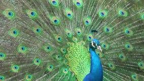 Primer hermoso del pavo real, cantidad común almacen de metraje de vídeo