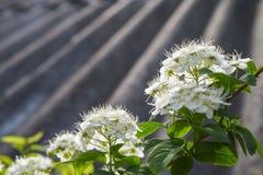 Primer hermoso del spirea de las flores imagenes de archivo