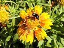Primer Honey Bee Pollinating una margarita del Gerbera Fotografía de archivo