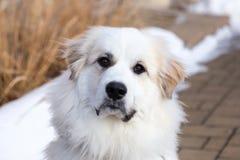 Primer horizontal del perro pirenáico magnífico de la montaña que mira fijamente atento foto de archivo