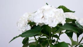 Primer, hortensia de la flor, rotación en el fondo blanco, floristería metrajes