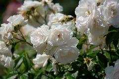 Primer iluminado por el sol de las rosas blancas con los pétalos fotografía de archivo