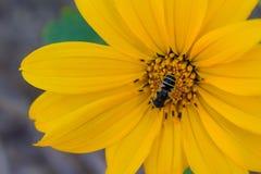 Primer increíble de un girasol con la abeja en el centro que recoge el polen Fotografía de archivo libre de regalías