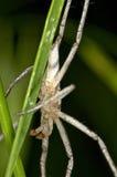 Primer jawed largo de la araña de la hierba Imagenes de archivo
