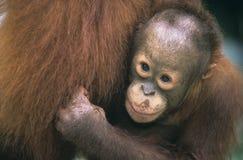 Primer joven de la madre del abarcamiento del orangután Fotografía de archivo