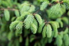 Primer joven de las agujas del pino Fondo verde natural fotos de archivo
