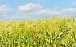 Primer joven del campo de trigo con las amapolas rojas Foto de archivo libre de regalías