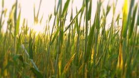 Primer joven del trigo en el amanecer metrajes