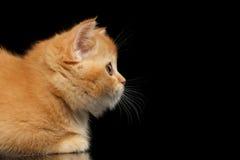 Primer Kitten Snout recta escocesa roja en el perfil, negro aislado imágenes de archivo libres de regalías