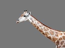 Primer la cabeza de una jirafa en Gray Background Fotos de archivo