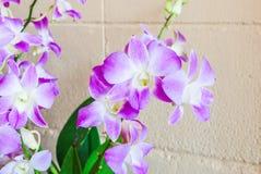 Primer a la flor purpúrea clara de la orquídea en la pared de ladrillo concreta [Orchidaceae] imagen de archivo