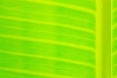 Primer la hoja del plátano Fotos de archivo libres de regalías