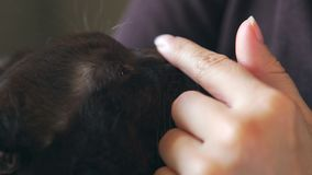 Primer: la nariz mojada de un gato Las manos femeninas están frotando ligeramente un gato negro almacen de metraje de vídeo