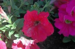 Primer a la vista de las floraciones coloridas completamente abiertas de la petunia con el chapoteo de la mañana de la luz del so imágenes de archivo libres de regalías