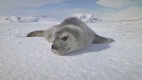 Primer lindo antártico del bozal del sello del weddell del bebé almacen de video
