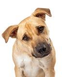 Primer lindo del perro de la mezcla del boxeador Fotografía de archivo libre de regalías