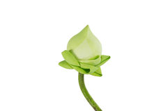 Primer Lotus Imagen de archivo libre de regalías