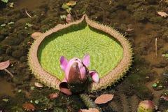 Primer Lotus Flower Imagen de archivo libre de regalías