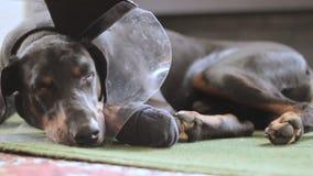 Primer médico del cuello del perro del Doberman triste de la raza almacen de metraje de vídeo