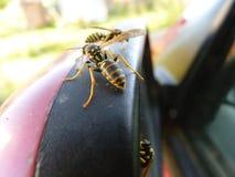 Primer macro de avispas en el coche Imagen de archivo