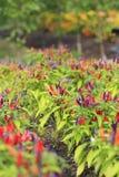 Primer macro de filas de los pimientos picantes rojos y púrpuras que crecen en jardín Foto de archivo