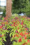 Primer macro de filas de los pimientos picantes rojos y púrpuras que crecen en jardín Fotografía de archivo libre de regalías