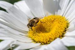 primer macro de la abeja de la miel en la flor blanca Foto de archivo libre de regalías