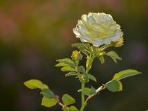 Primer macro de la flor blanca fotografía de archivo libre de regalías