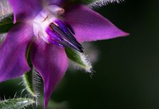 Primer macro de la flor p?rpura de la borraja fotografía de archivo libre de regalías