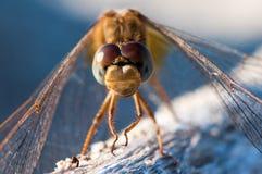 Primer macro de la libélula amarilla, fauna, insecto Imagenes de archivo