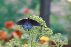 Primer macro de la mariposa azul de la polilla en la flor Fotografía de archivo