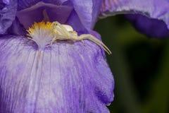 Primer macro de una araña blanca del cangrejo que caza en insectos en el iris barbudo azul, Iris Barbata Imagen de archivo
