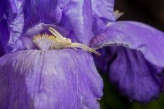 Primer macro de una araña blanca del cangrejo que caza en insectos en el iris barbudo azul, Iris Barbata Imagenes de archivo