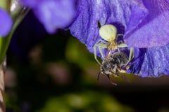 Primer macro de una araña blanca del cangrejo que festeja en abeja catched en el iris barbudo azul, Iris Barbata Imagenes de archivo