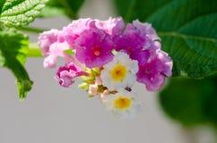 Primer macro de una flor colorida ornamental del seto, Lantana que llora Fotografía de archivo libre de regalías