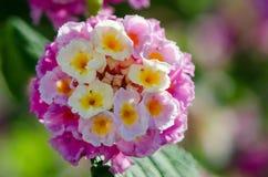 Primer macro de una flor colorida ornamental del seto, Lantana que llora Imagenes de archivo