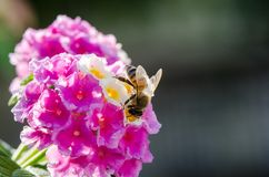 Primer macro de una flor colorida ornamental del seto, Lantana que llora, camara del Lantana cultivado como abeja de los ricos de Fotografía de archivo