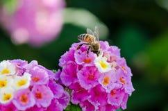 Primer macro de una flor colorida ornamental del seto, Lantana que llora, camara del Lantana cultivado como abeja de los ricos de Imágenes de archivo libres de regalías