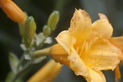 Primer macro del Wildflower amarillo en Forest Preserve Prairie Fotografía de archivo
