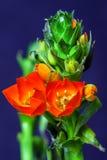 Primer macro en una rama verde, fondo azul de las pequeñas flores rojas Imagenes de archivo