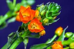 Primer macro en una rama verde, fondo azul de las pequeñas flores rojas Imágenes de archivo libres de regalías