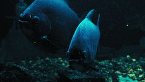 Primer, macropomum de Colossoma de los pescados, detrás del vidrio en el acuario oscuro almacen de metraje de vídeo