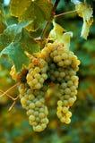 Primer maduro blanco de la vertical de las uvas Foto de archivo