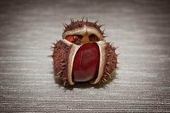 Primer maduro de la castaña en un fondo marrón Foto horizontal Fotografía de archivo libre de regalías